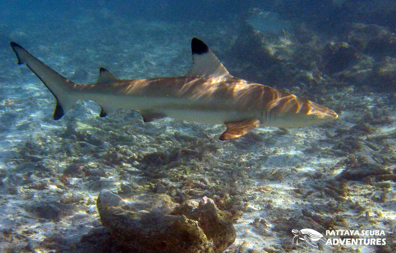 Blacktip Reef Shark Pattaya Thailand