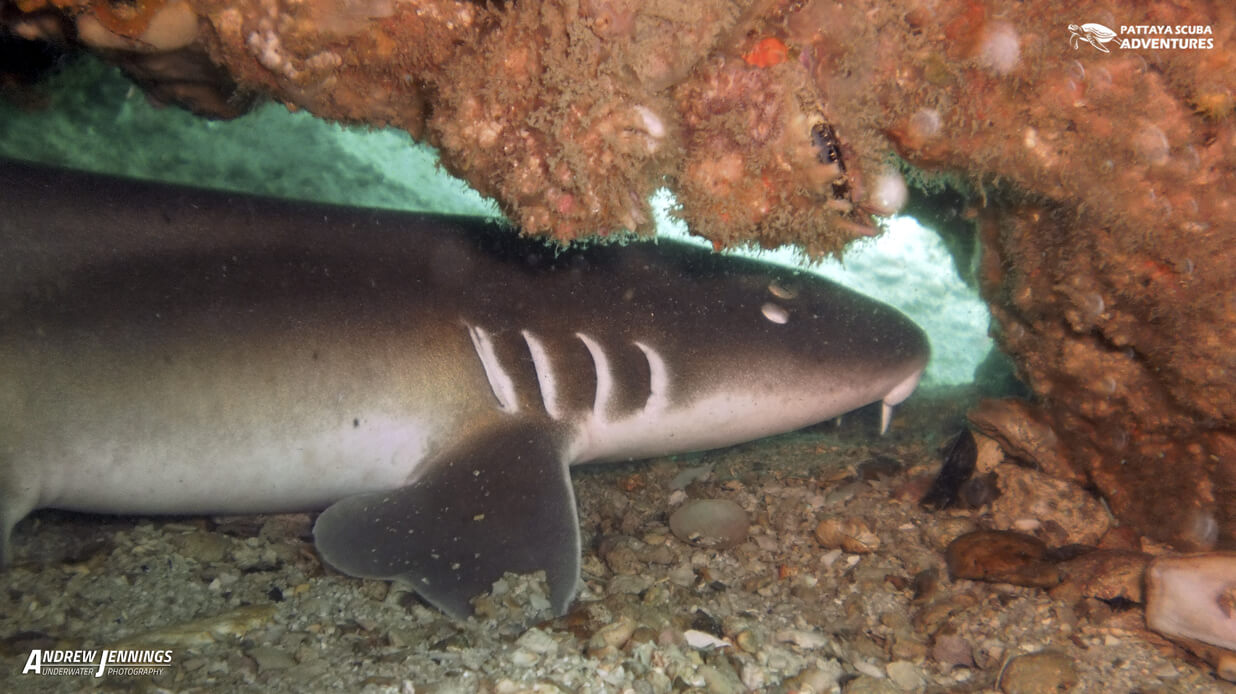 Tawney Nurse Shark AKA Bamboo Shark Diving Pattaya